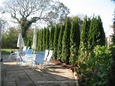 Click to view album: Leyland Cypress Privacy Screening